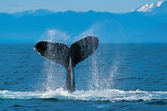 A humpback whale slapping the surface with its tail.